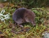 Common Shrew Kindrogan Oct 2010 Jjc 600